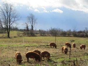 The animals at Maplelane Farm
